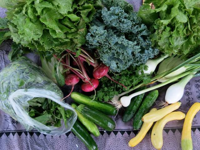 These are the vegetables people get in our sliding-scale affordable CSA shares. In 2013 alone, GTC youth distributed over 13,000 pounds of organic vegetables to Springfield families at affordable prices!